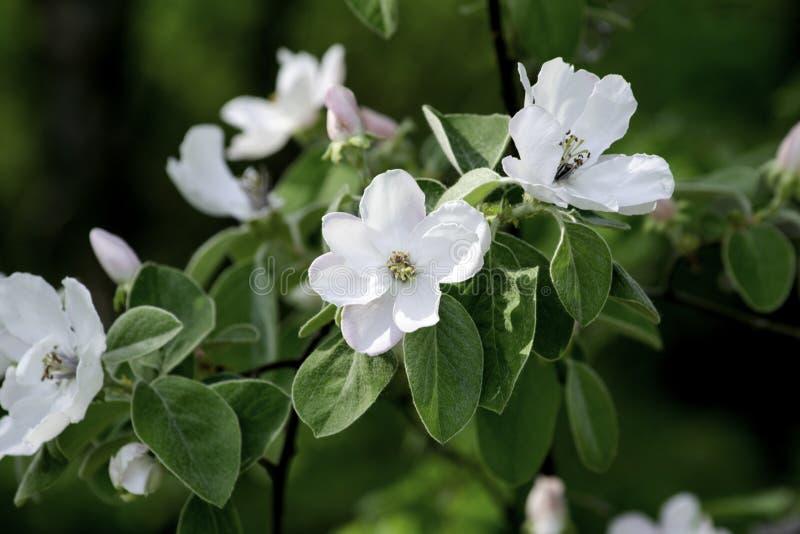 Flores do marmelo que florescem em um jardim da mola, flores cor-de-rosa delicadas na perspectiva da folha verde fotos de stock royalty free