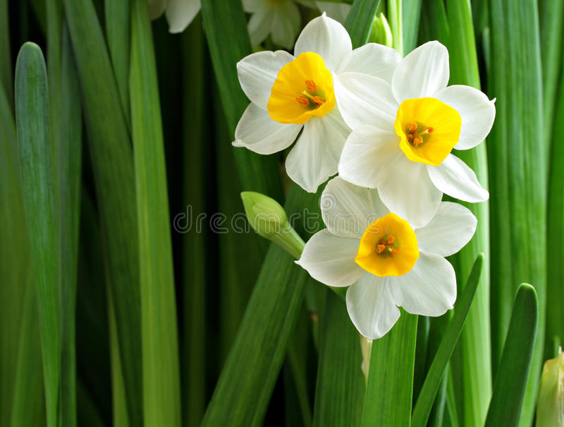 Flores do narciso imagem de stock