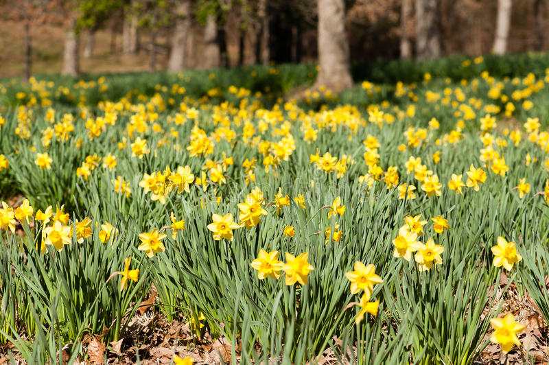 Flores do narciso amarelo imagens de stock royalty free