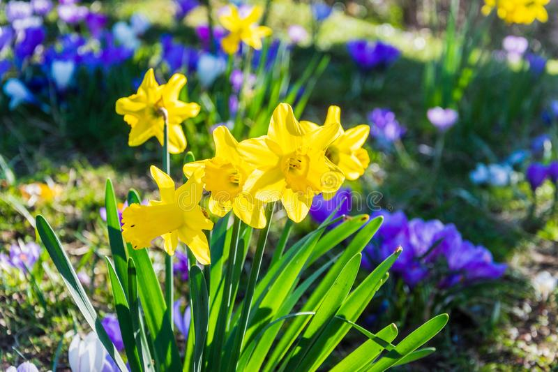 Flores do narciso amarelo contra o fundo borrado dos açafrões fotos de stock