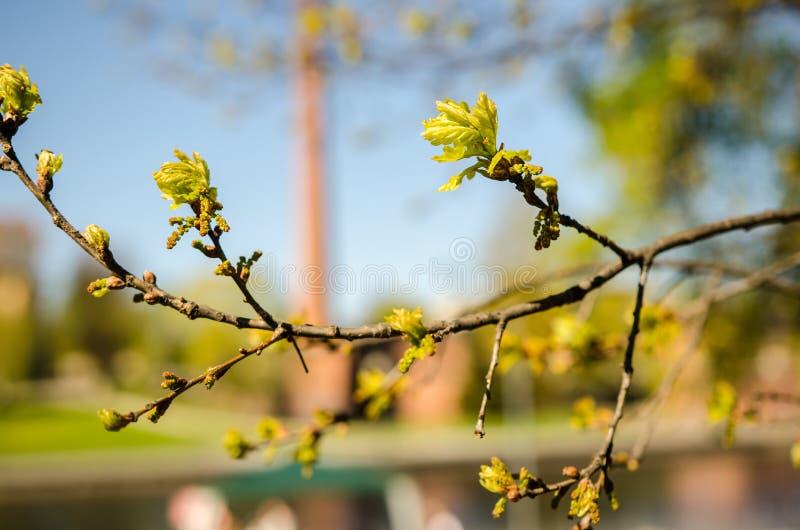 Flores do olmo, mola fotografia de stock royalty free