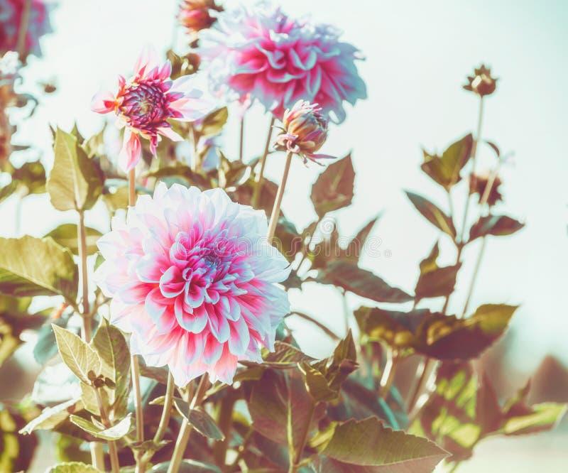 Flores do outono Feche acima da dália cor-de-rosa no jardim fotos de stock