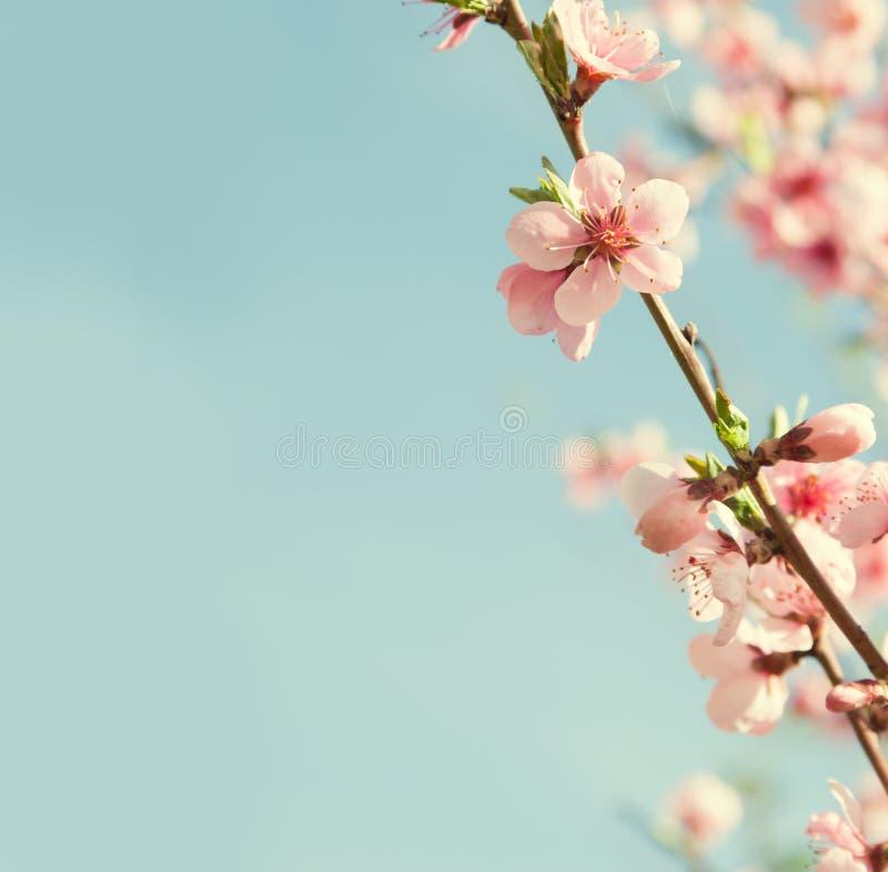 Flores do pêssego imagem de stock royalty free