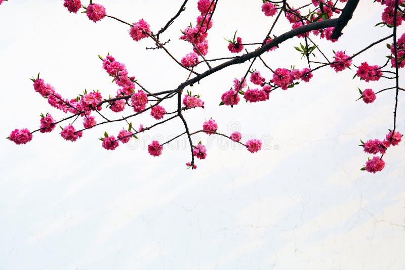 Flores do pêssego fotos de stock
