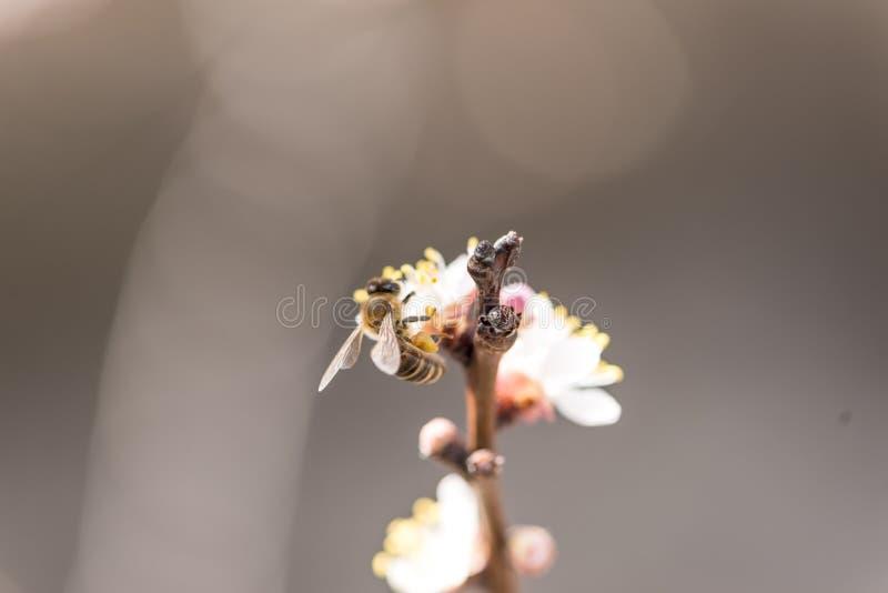 Flores do pêssego com uma abelha imagens de stock