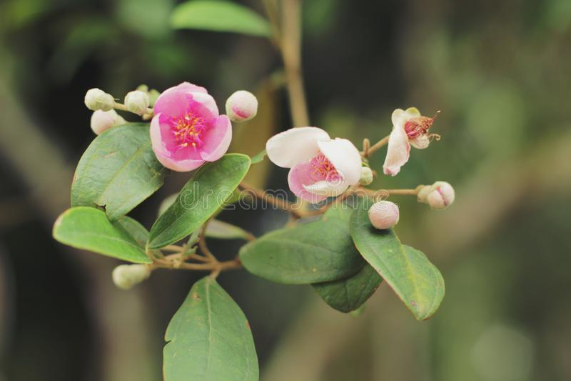 Flores do pêssego em Vietname imagem de stock