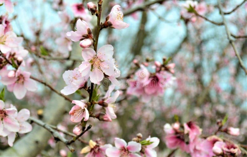Flores do pêssego na mola imagens de stock