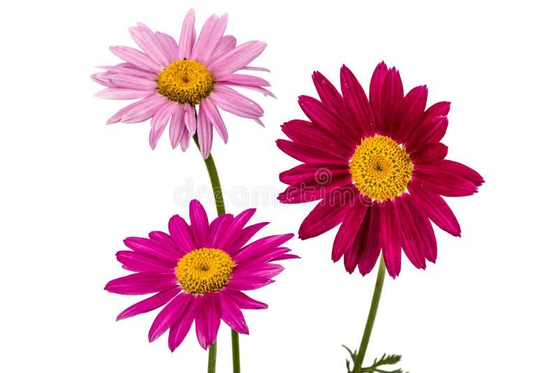 Flores do píretro, isoladas no fundo branco imagem de stock royalty free