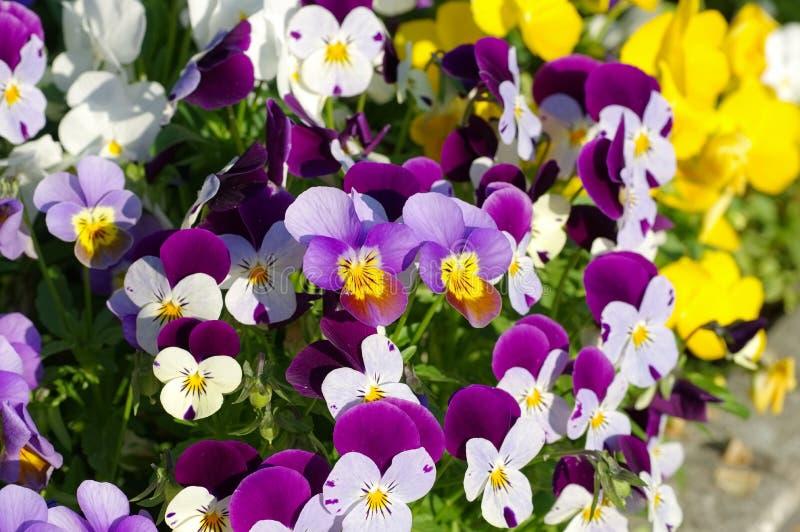 Flores do Pansy na mola imagens de stock royalty free