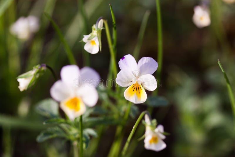 Flores do pansy selvagem imagem de stock