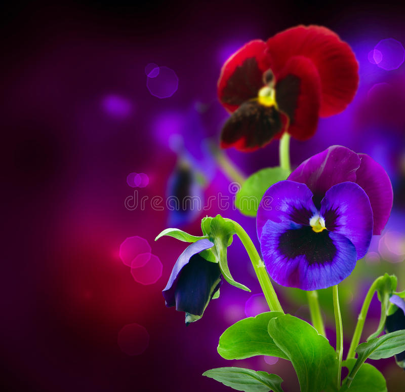 Flores do Pansy sobre o preto fotos de stock royalty free