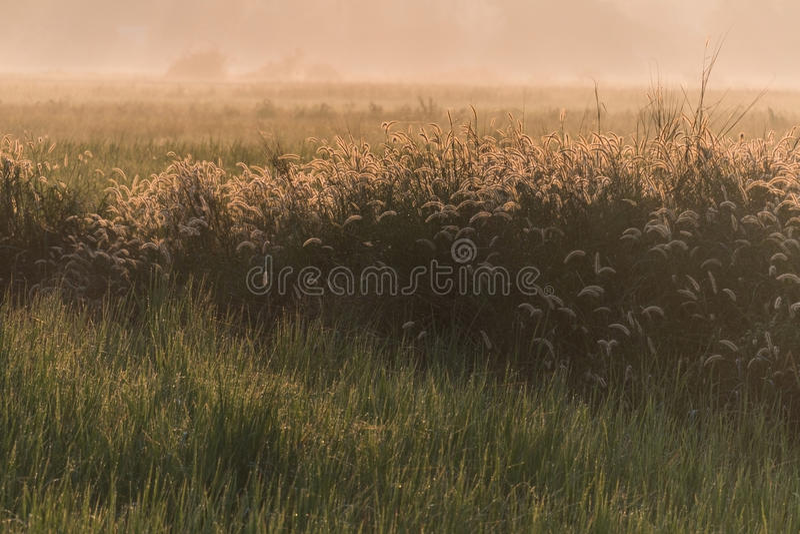 Flores do Pennisetum com luz do sol imagem de stock