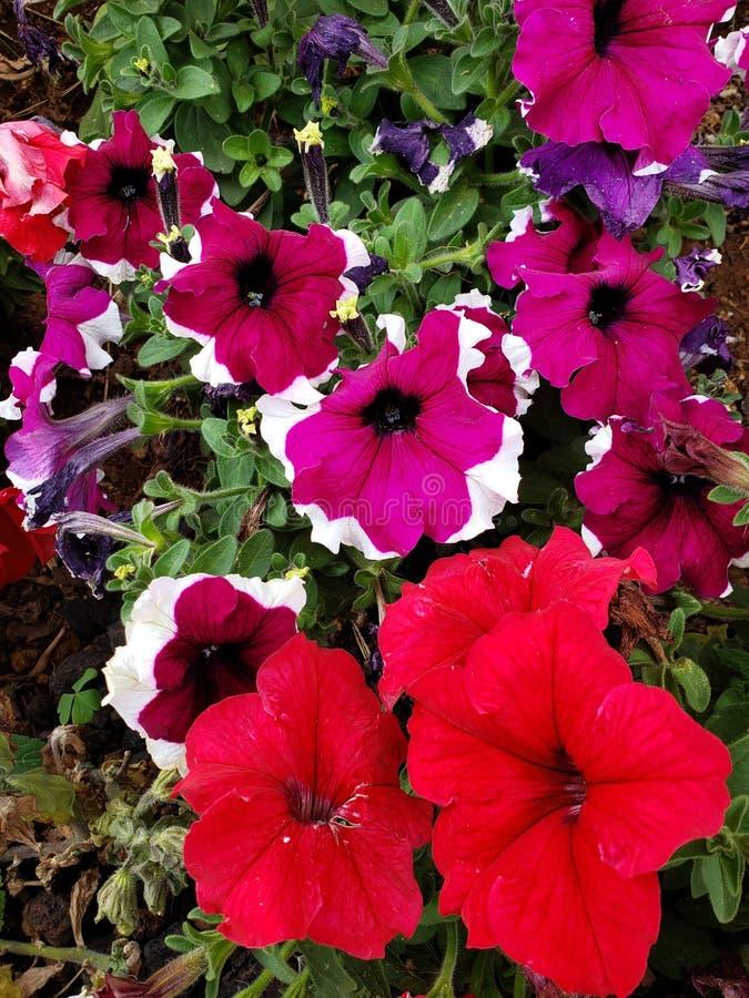 flores do petúnia em cores diferentes em um jardim na estação de mola imagem de stock royalty free