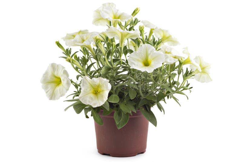 Flores do petúnia no potenciômetro de flor fotografia de stock royalty free