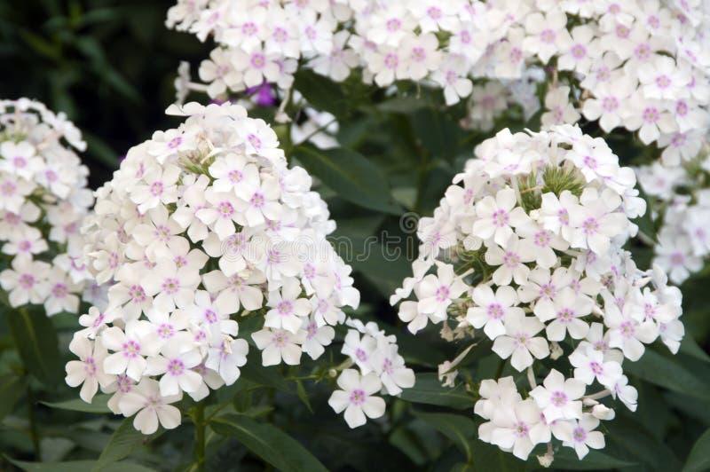 Flores do phlox do jardim foto de stock royalty free