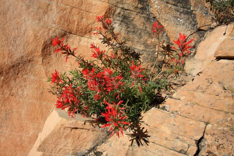 Flores do pincel indiano no parque nacional de Grand Canyon imagem de stock