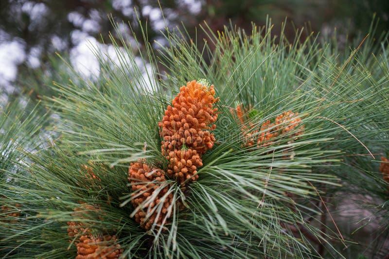 Flores do pinho canarino fotografia de stock