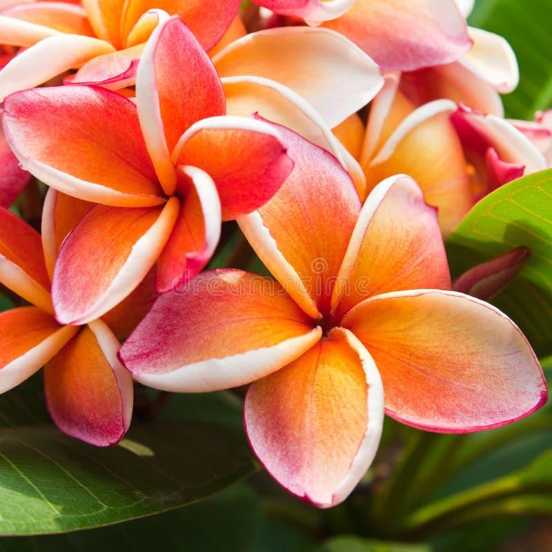 Flores do Plumeria imagens de stock royalty free