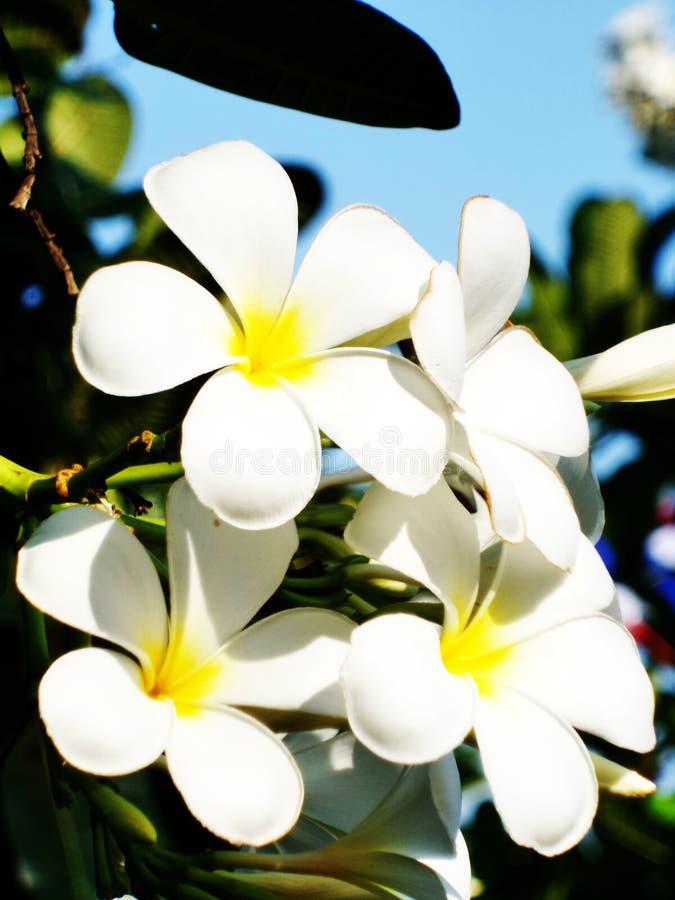 Flores do Plumeria foto de stock royalty free