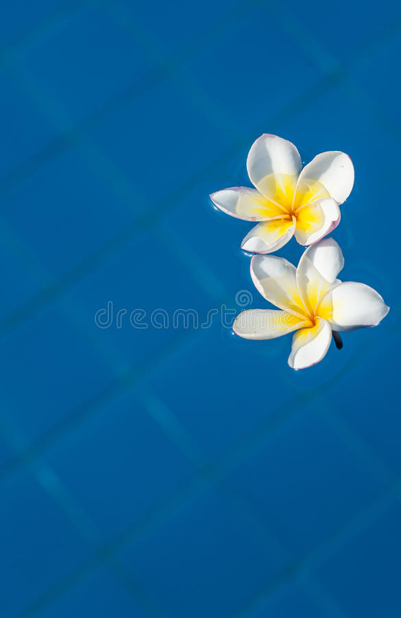 Flores do Plumeria ilustração royalty free