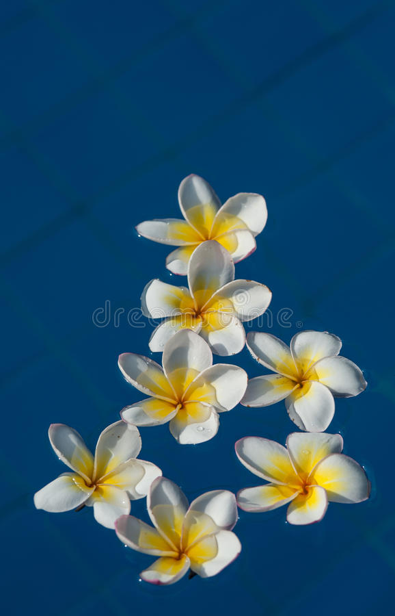 Flores do Plumeria ilustração stock