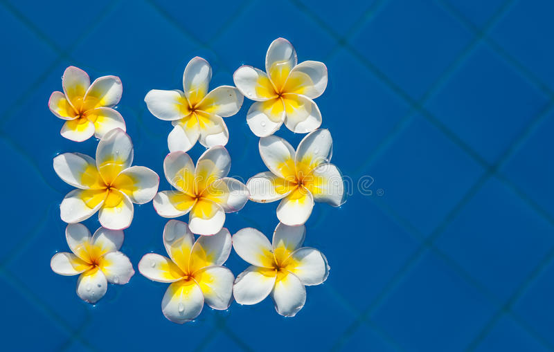 Flores do Plumeria ilustração do vetor