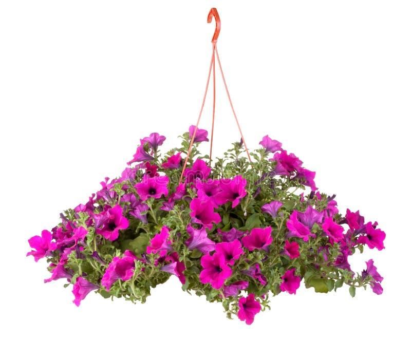 Flores do potenciômetro de flor de Surfinia imagem de stock royalty free