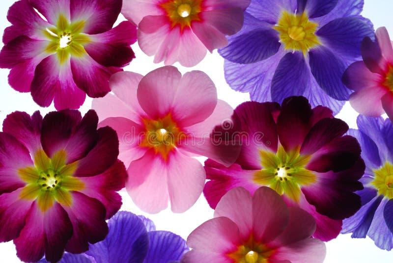 Flores do Primula fotos de stock