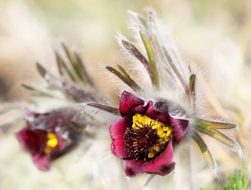 Flores do Pulsatilla foto de stock