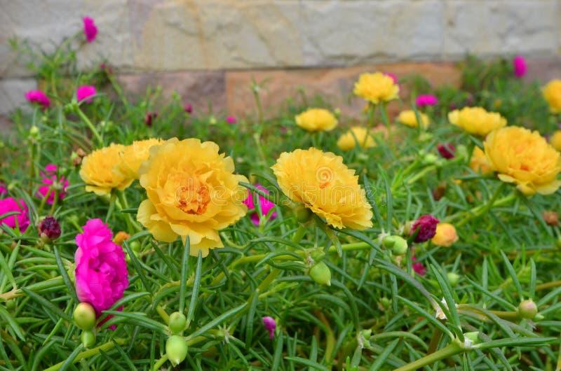 Flores do purslane e folhas frescas e brilhantes do verde foto de stock royalty free