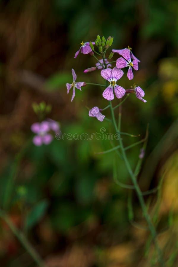 Flores do rabanete selvagem e uma planta foto de stock royalty free