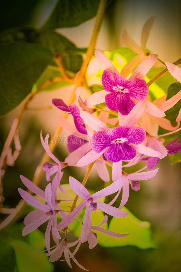 Flores do racemosa de Petrea foto de stock