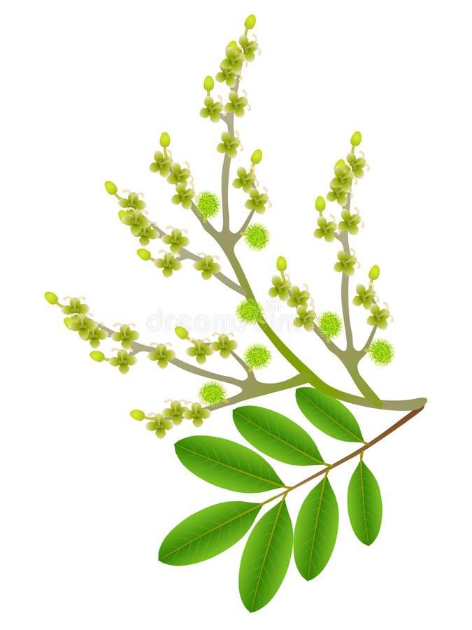 Flores do Rambutan com as folhas isoladas no fundo branco ilustração royalty free