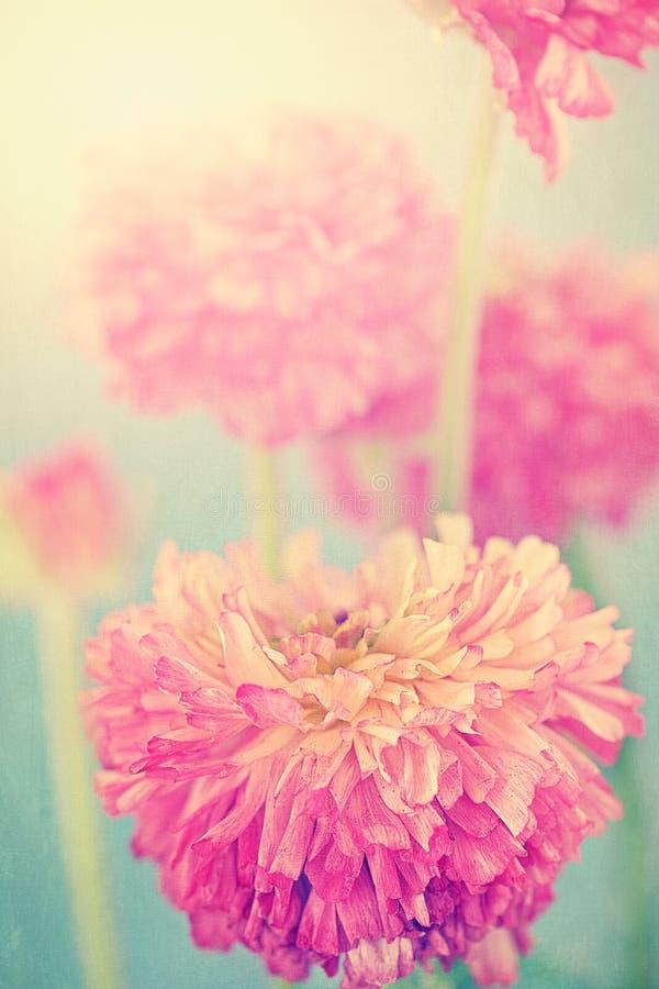 Flores do ranúnculo imagem de stock