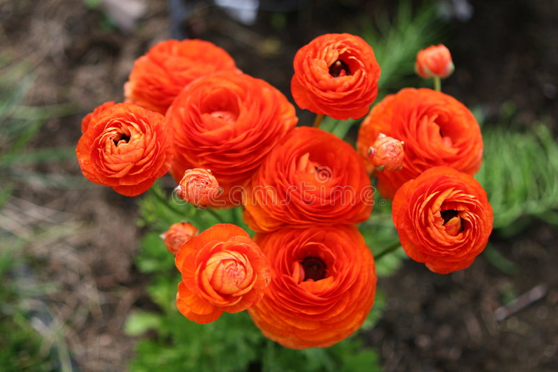 Flores do ranúnculo foto de stock royalty free