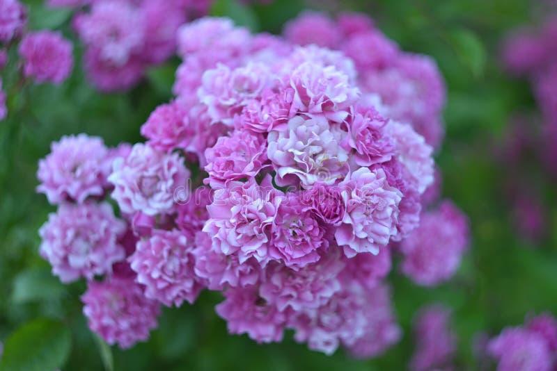 Flores do rosa de jardim da hortênsia fotos de stock