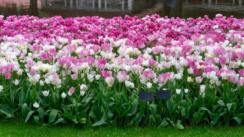 Flores do rosa e as brancas da tulipa no jardim da mola, parque fotografia de stock royalty free