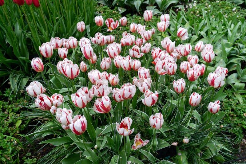 Flores do rosa e as brancas da tulipa no jardim da mola, parque fotos de stock royalty free