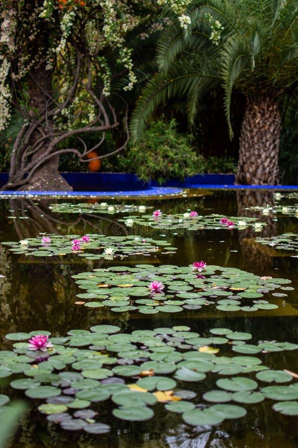 Flores do rosa e os brancos de lótus que flutuam na água de uma lagoa em um parque público foto de stock royalty free