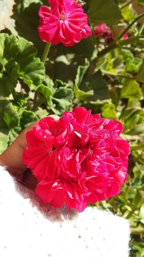 Flores do rosa do gerânio no jardim com fundo verde imagem de stock royalty free