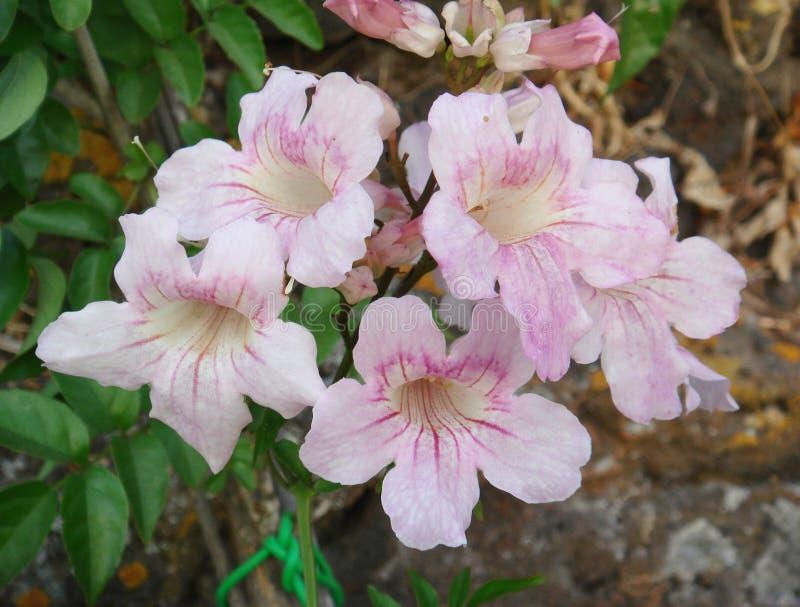Flores do rosa do ricasoliana de Podranea fotografia de stock royalty free