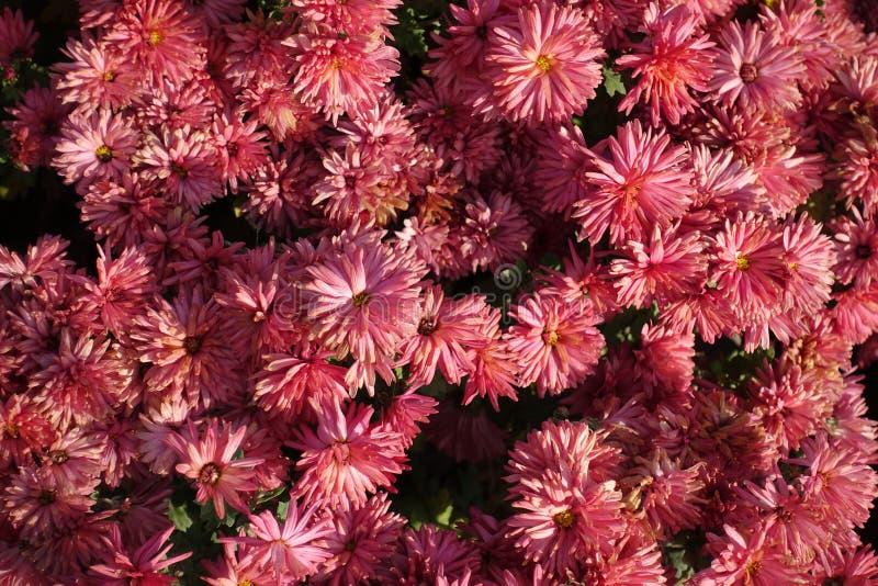 Flores do rosa Salmon do morifolium do crisântemo imagem de stock royalty free