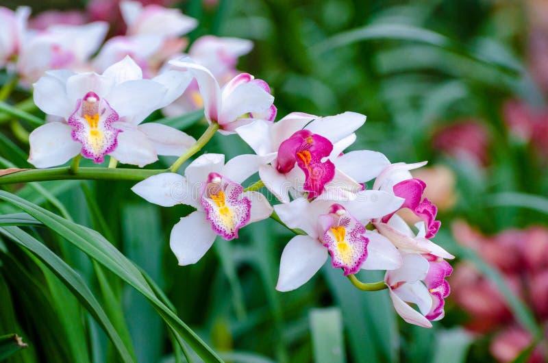 Flores do rosa do sp do Cymbidium e as brancas da orquídea imagens de stock royalty free
