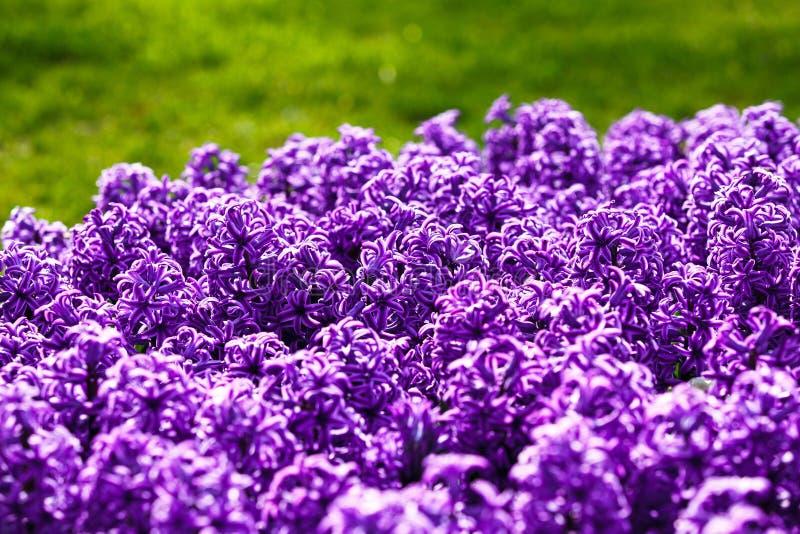 Flores do roxo do jacinto fotos de stock