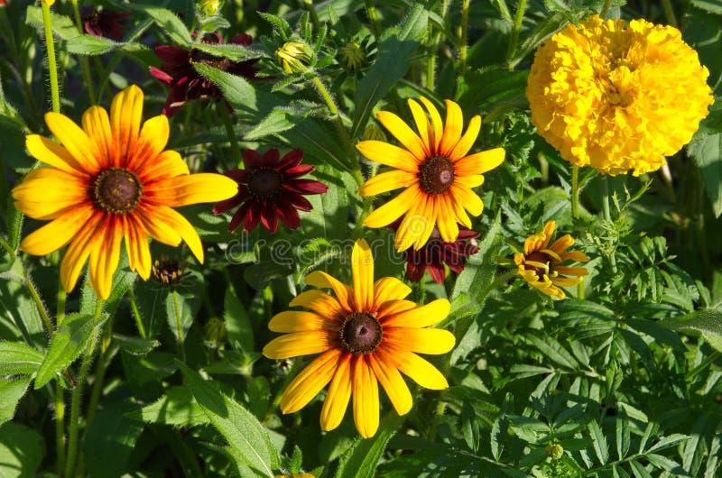 Flores do Rudbeckia na flor foto de stock