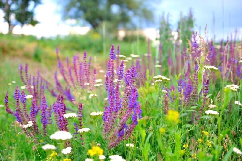 Flores do sábio roxo no prado. fotos de stock royalty free