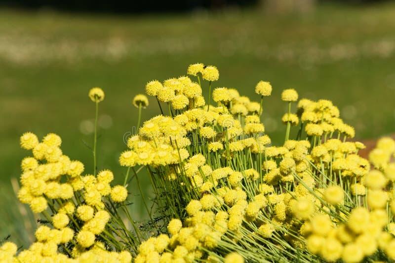 Flores do Santolina foto de stock