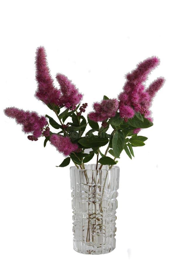 Flores do Spiraea nos vasos imagem de stock royalty free