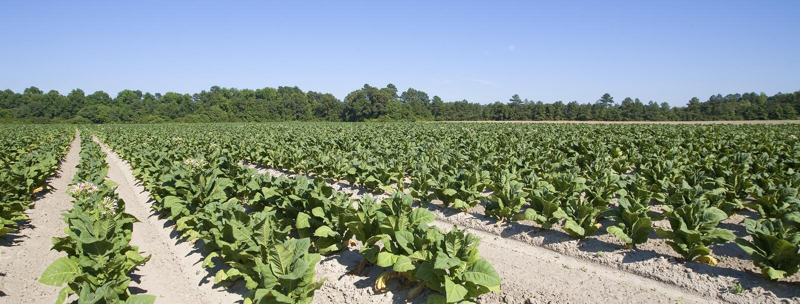 Flores do tabaco imagem de stock royalty free