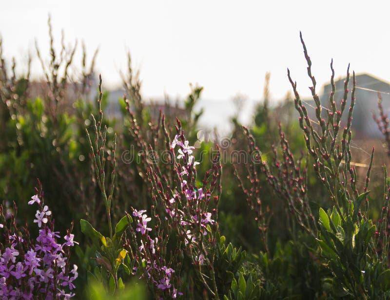 Flores do Tamarix contra a luz brilhante do sol pelo mar fotos de stock royalty free